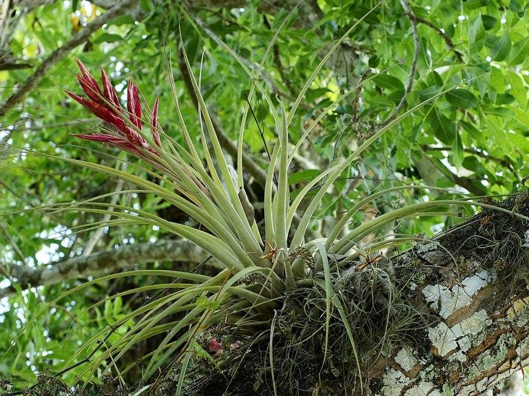1200px-Tillandsia_fasciculata.jpg